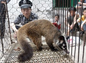 """(CHINA OUT NO INTERNET) A Chinese policeman watches over a civet cat captured in the wild by a farmer in Wuhan, central China's Hubei province 26 May 2003.  The Severe Acute Respiratory Syndrome (SARS) epidemic could lead to a mass slaughter of civet cats and raccoon dogs, which were named as likely suspects in the epidemic, on breeding farms, a fate identical to that which befell chickens in Hong Kong during the """"bird flu"""" epidemic that erupted in the former British colony in the late 1990s.    (CHINA OUT NO INTERNET)     AFP PHOTO (Photo by - / AFP)"""